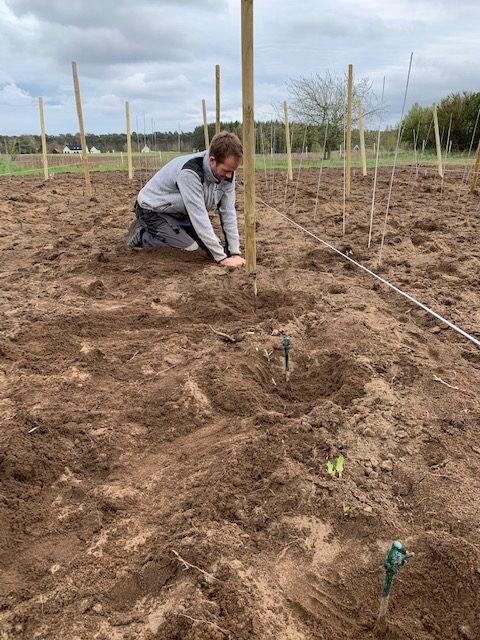 Förberedande av jorden för att plantera vinrankorna
