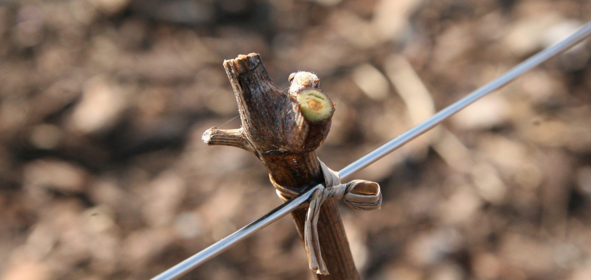 Beskärning av en vinranka som är planterad i marken och jorden