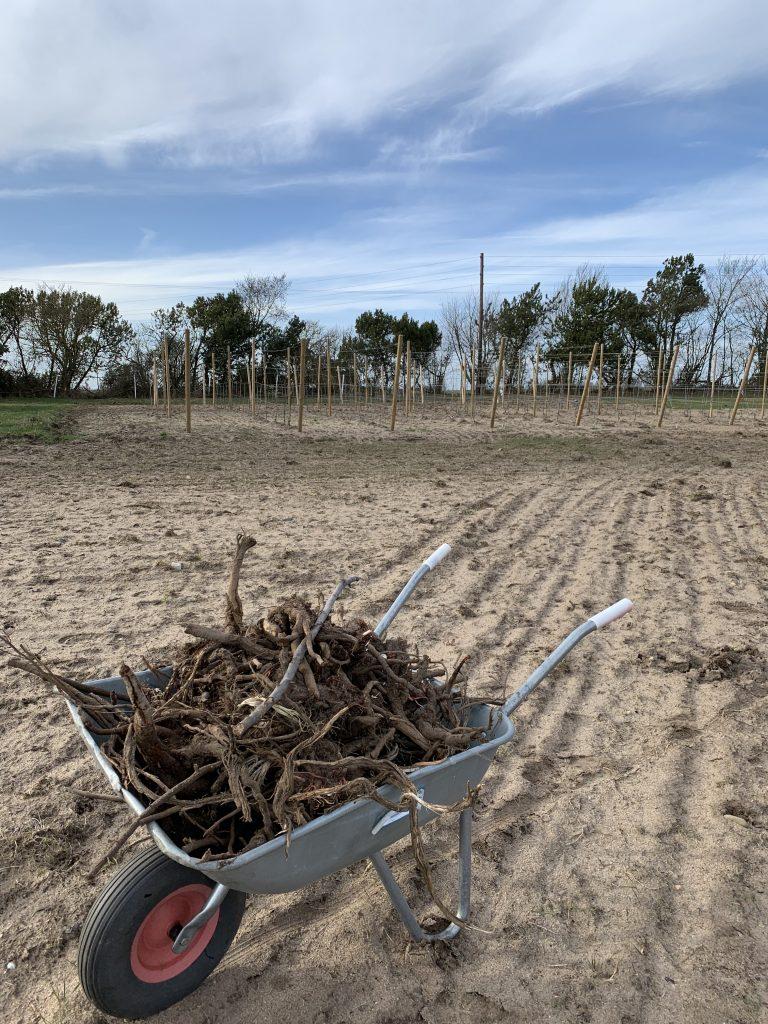 Arbete med Skottkärra för att ta hand om och Plantera vinrankor i Henriksdals Vingård