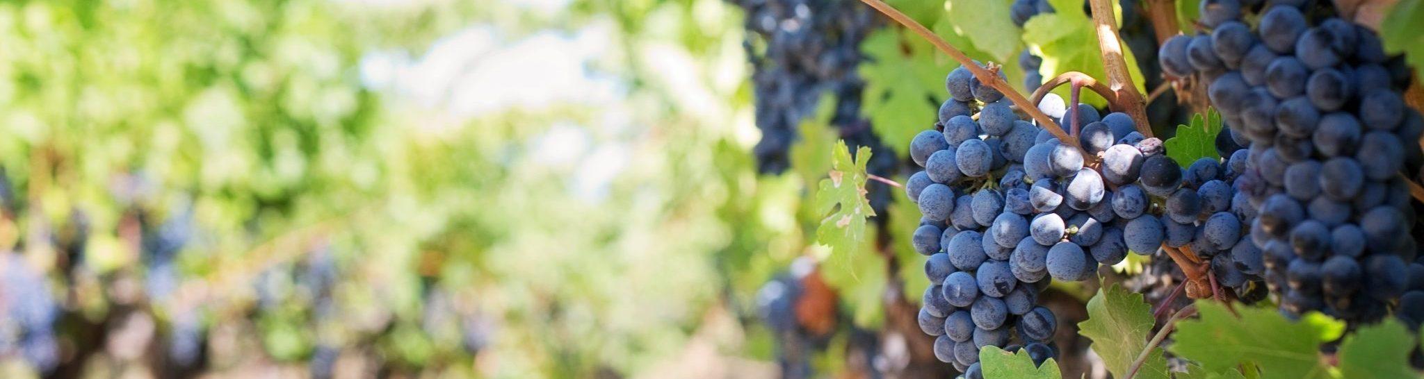 Svensk vingård och vinodling
