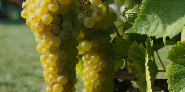 Odla vindruvor och Vinodling av sorten solaris druva
