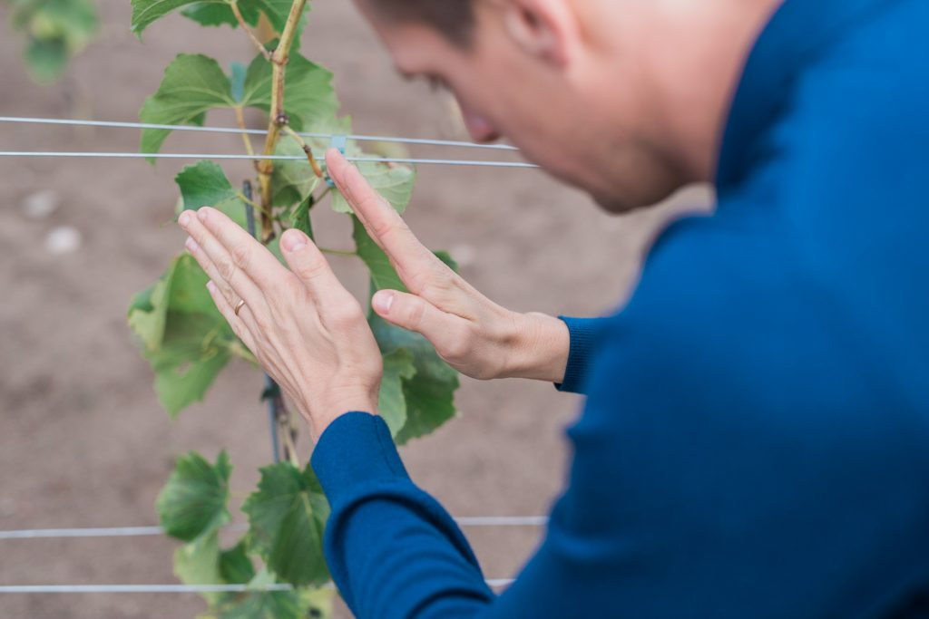 Nära handarbete med plantorna och vinrankorna för att odla vindruvorna