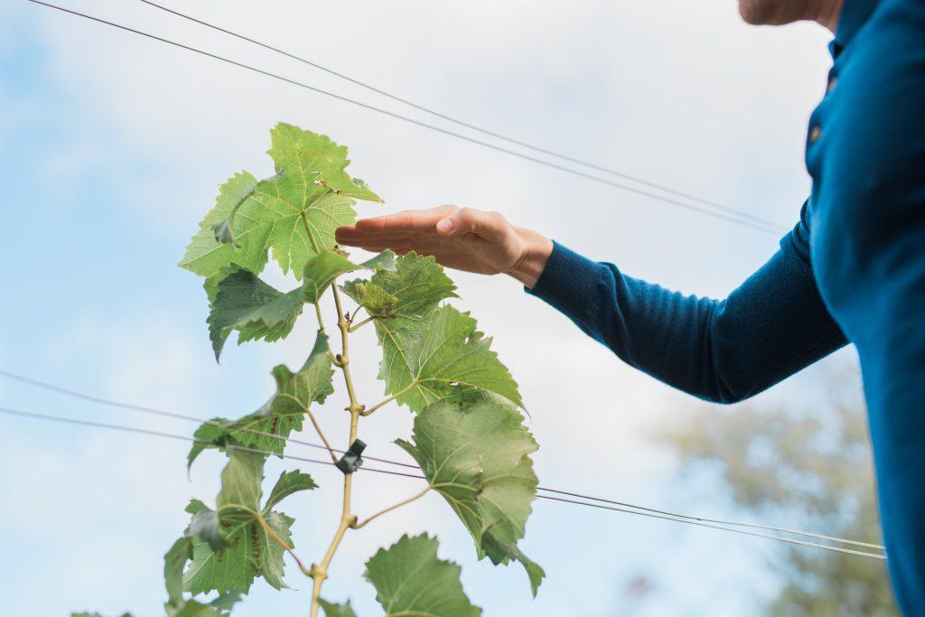 Arbeta med och plantera vinrankor i Henriksdals Vingård