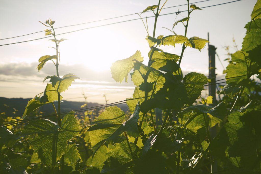 Arbete med vinrankor och att odla vindruvor i en svensk vingård